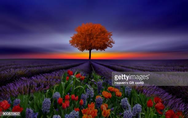 lavender beautys - lavender color ストックフォトと画像
