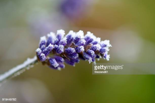 Lavender blossom frost-covered in winter