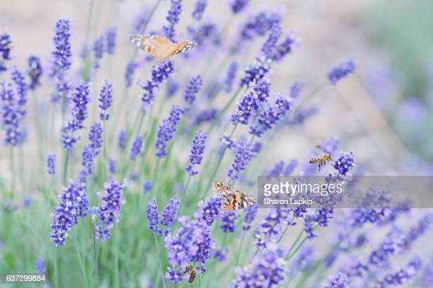 Lavender, butterflies and bees