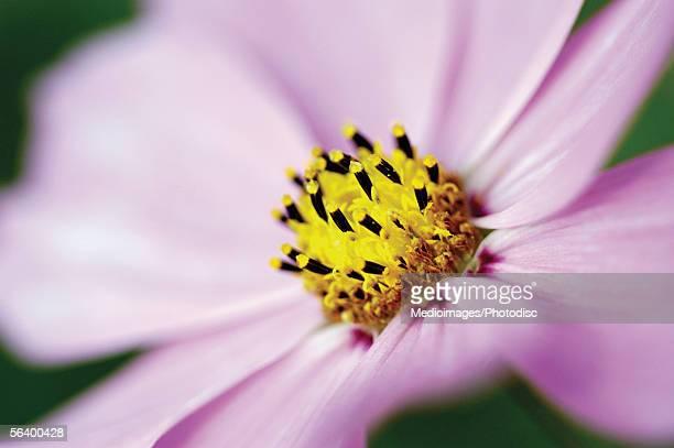 Lavender Cosmos, close-up