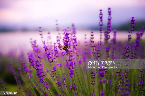 Lavender crops in field and flying bee.