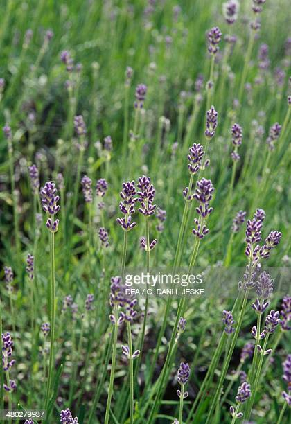 Lavender English Lavender or Common Lavender Lamiaceae