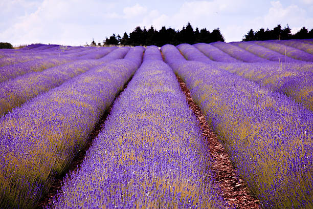 Lavender farm in Costwold, England