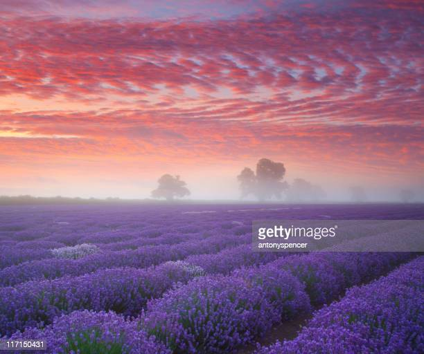 Lavanda Farmland all'alba.