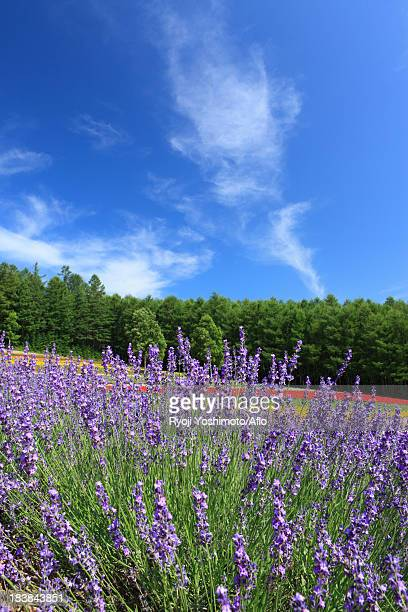 lavender field and blue sky with clouds - artemisia stock pictures, royalty-free photos & images