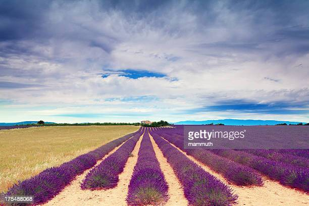 Lavender field and farm building