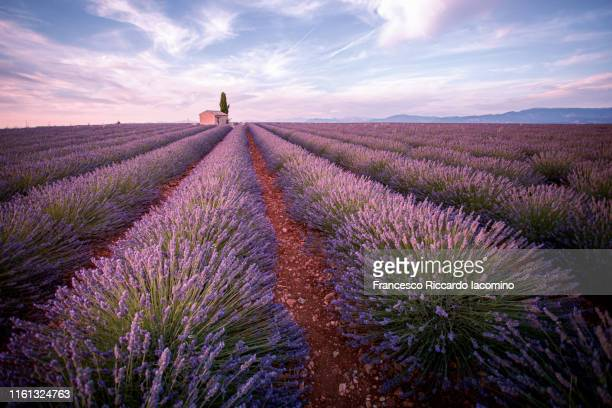 lavender field and lonely house and tree in valensole plateau, full bloom, clouds and sunrise. provence, southern france - francesco riccardo iacomino france foto e immagini stock