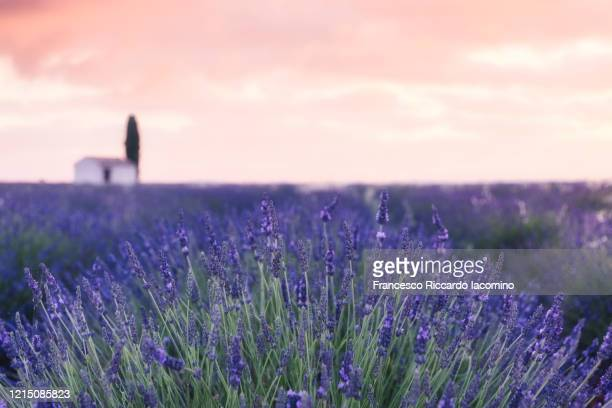 lavender field and lonely house blurred with tree in valensole plateau, full bloom, symmetry and golden sky. provence, southern france - francesco riccardo iacomino france foto e immagini stock