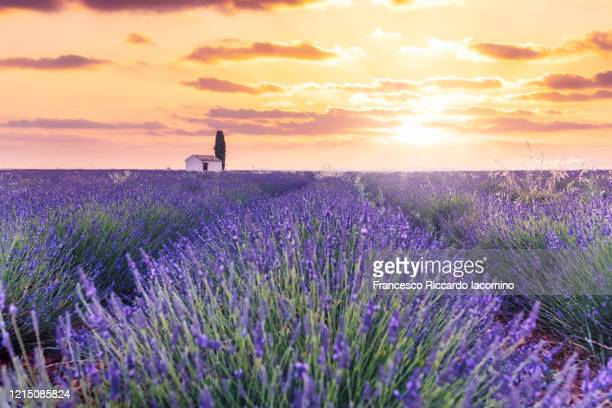 lavender field and lonely house with tree in valensole plateau, full bloom, symmetry and golden sky. provence, southern france - francesco riccardo iacomino france foto e immagini stock