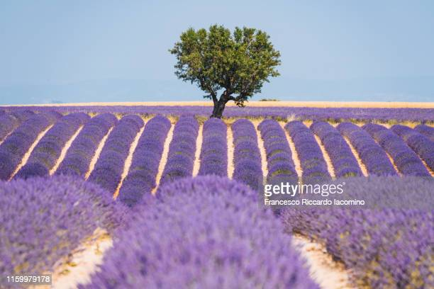 lavender field and lonely tree in valensole plateau, full bloom, symmetry and clear blue sky. provence, southern france - ascaris photos et images de collection