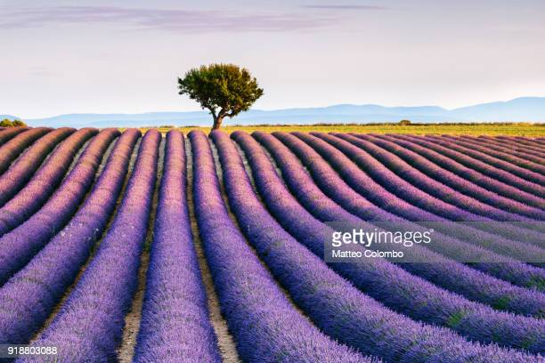 lavender field and tree in provence, france - lavender color ストックフォトと画像