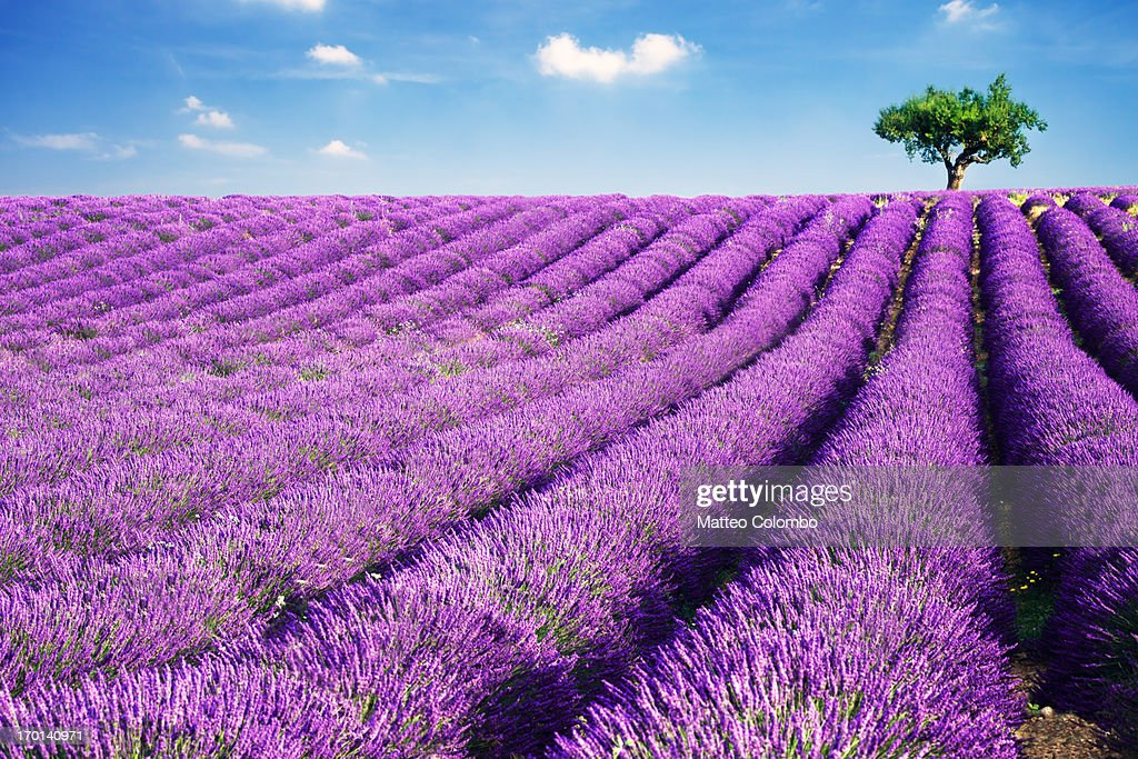 Lavender field and tree in summer : Foto de stock