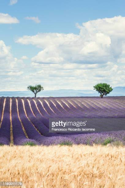 lavender field and two lonely trees in valensole plateau, full bloom, yellow wheat in foreground. provence, southern france - francesco riccardo iacomino france foto e immagini stock