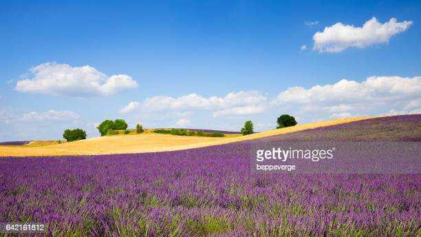 lavender field and wheat fields - ヴァレンソール高原 ストックフォトと画像
