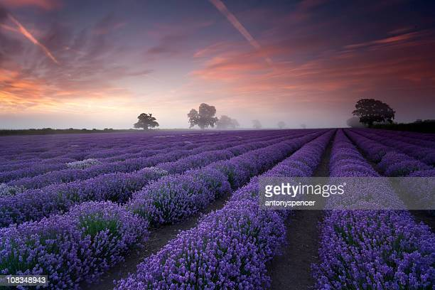lavender field at dawn - somerset england stock pictures, royalty-free photos & images