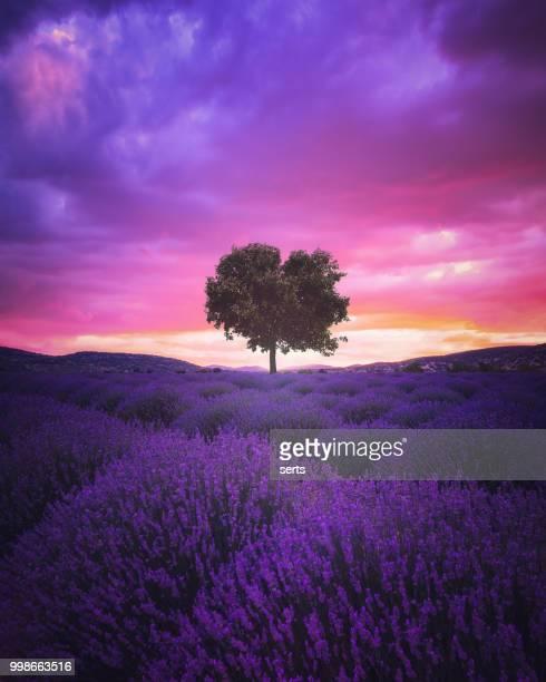 夜明けのラベンダー畑 - lavender color ストックフォトと画像