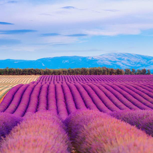 Lavender Field At Dusk Wall Art