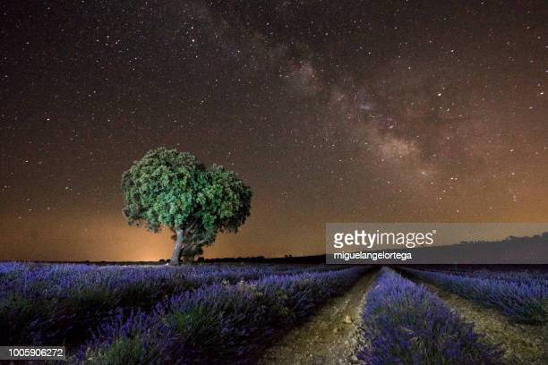 Lavender field at night with holm oak