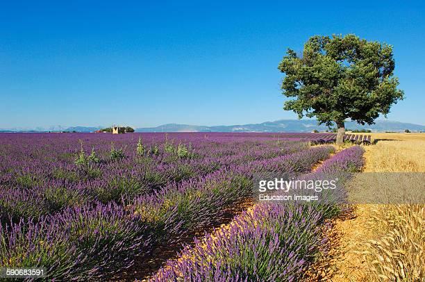 Lavender field at Plateau de Valensole, Alpes-de-Haute-Provence, Valensole, France.