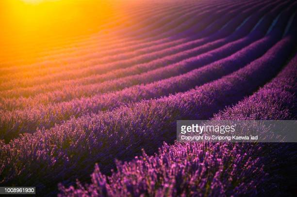 lavender field at sunset in valensole, france. - ヴァレンソール高原 ストックフォトと画像