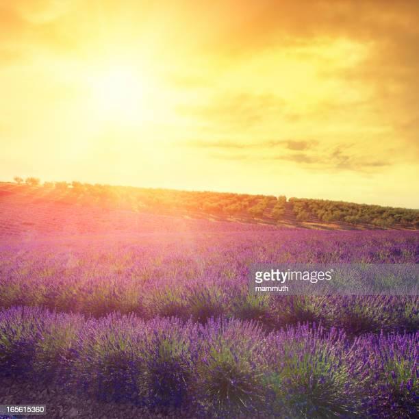 夕暮れのラベンダー畑