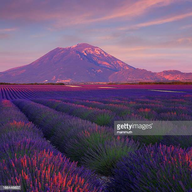 Lavender field at sunset