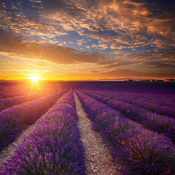 Lavender Field At Sunset Wall Art
