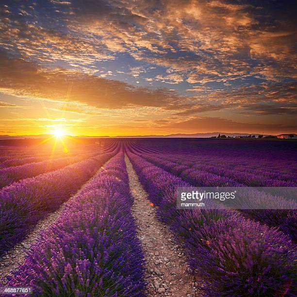 Lavanda campo ao pôr do sol