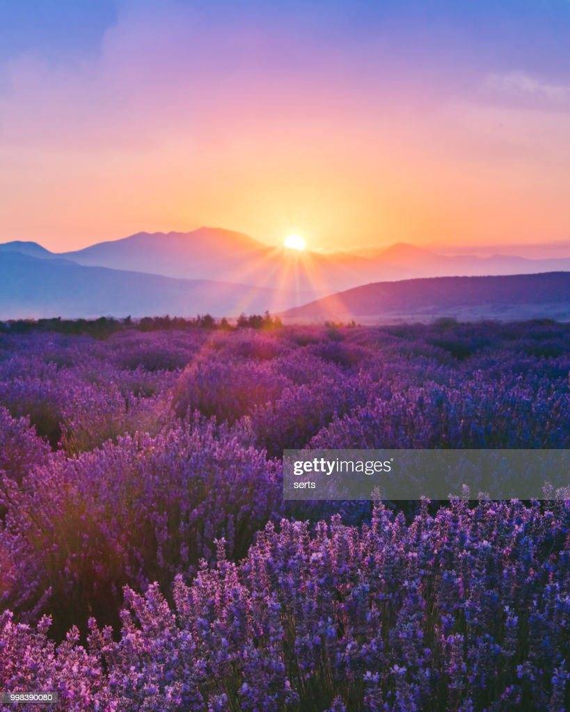 Lavender field at sunset : Stock Photo