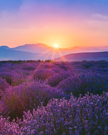 Lavender field at sunset 998390080