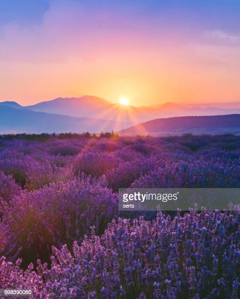 lavender field at sunset - landscape scenery stock photos and pictures