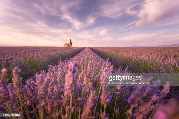 lavender field at sunset, valensole, provence, france - lavande photos et images de collection