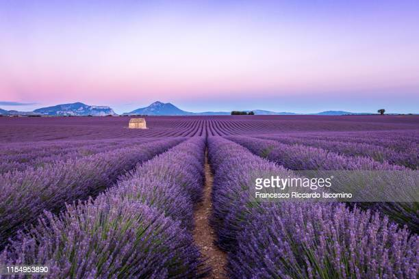lavender field at sunset, valensole, provence, france - france stock-fotos und bilder
