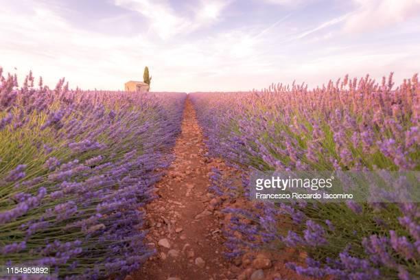 lavender field at sunset, valensole, provence, france - francesco riccardo iacomino france foto e immagini stock