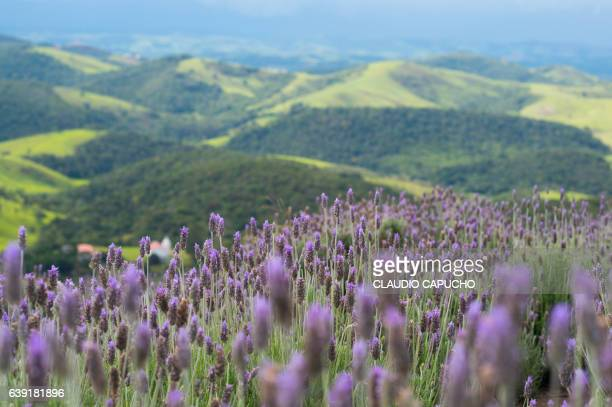 lavender field before the storm - claudio capucho stock photos and pictures