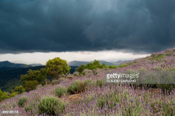 lavender field before the storm - claudio capucho stock pictures, royalty-free photos & images