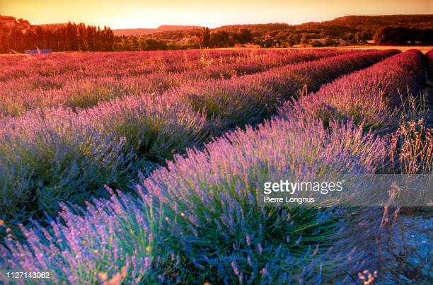 lavender field colored by the sunset light - aromatherapy stock pictures, royalty-free photos & images