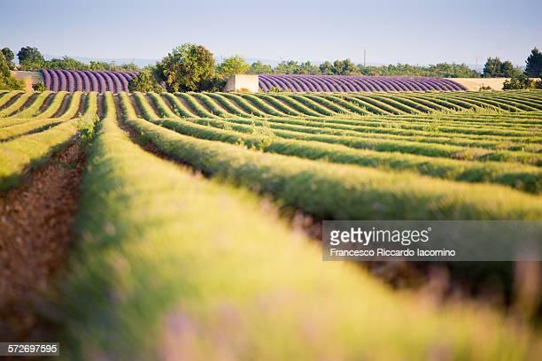 Lavender field harvesting