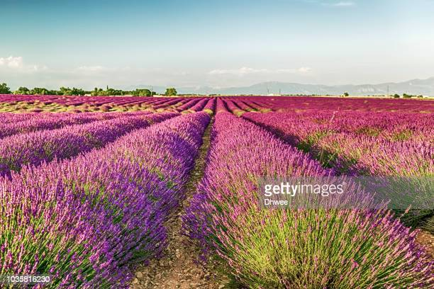 lavender field in beautiful summer day - alpes de haute provence stockfoto's en -beelden