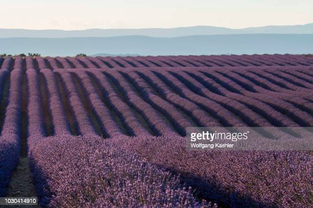 A lavender field in evening light on the Valensole plateau near DignelesBains and the Verdon gorges in the AlpesdeHauteProvence region in southern...