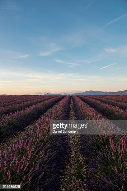 Lavender field in evening light, Plateau de Valensole in Valensole, Provence, Provence-Alpes-Cote d'Azur, France