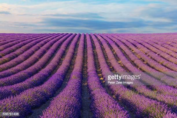 lavender field in provence, france - アルプドオートプロバンス県 ストックフォトと画像