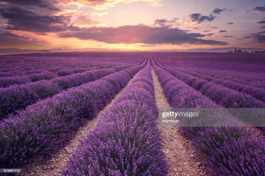 Campo de lavanda em Provence, França (Plateau de Valensole) : Foto de stock