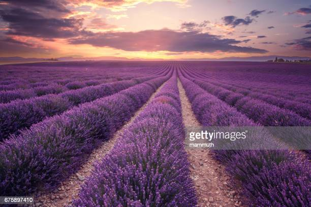 lavender field in provence, france (plateau de valensole) - purple stock pictures, royalty-free photos & images