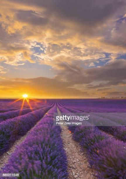 lavender field in provence, france - color lavanda - fotografias e filmes do acervo