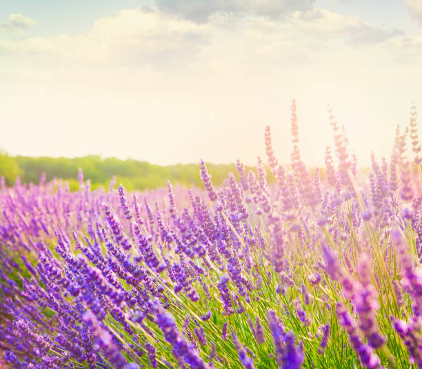 Lavender Field In Provence Wall Art