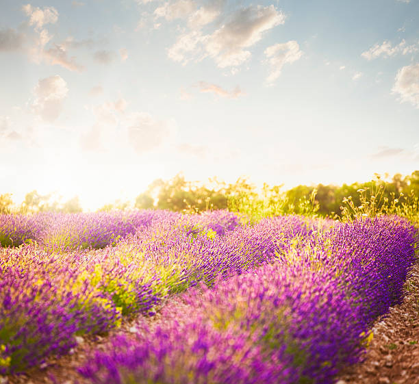 Lavender Field In Sunny Day Wall Art