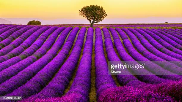 lavender field in valensole plateau during sunset, hdr - july stock pictures, royalty-free photos & images
