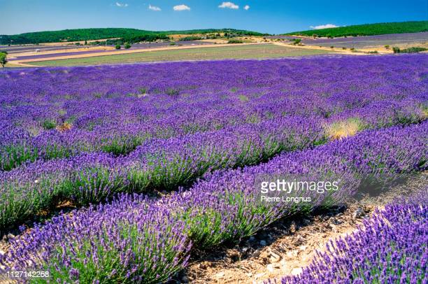 lavender field, lansdcape of plateau of valensole, provence - アルプドオートプロバンス県 ストックフォトと画像