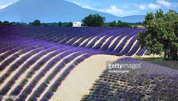 Lavender field panorama